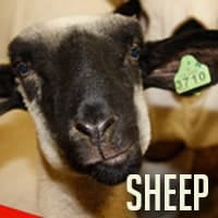 sheepfinal